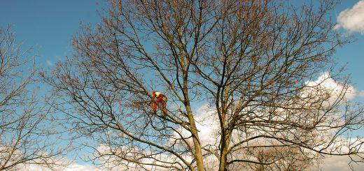 Izkušeno obrezovanje drevesa
