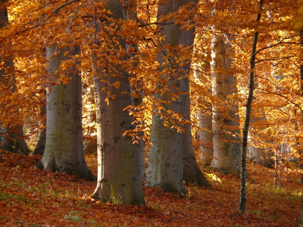 Kakovostna bukova drva