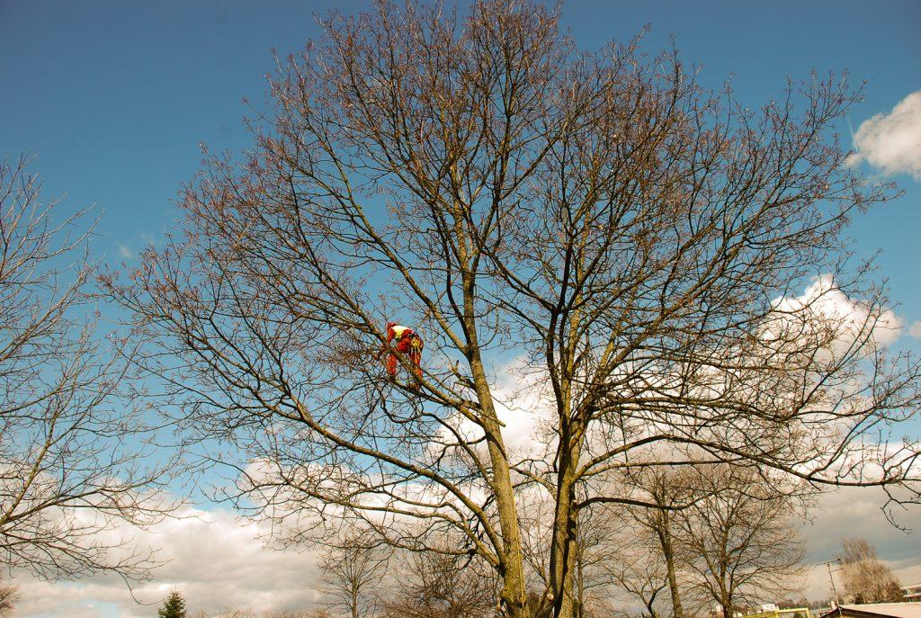 Postopek podiranja drevesa